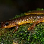 Southern torrent salamanders, Rhyacotriton variegatus, are usually found in or around fast moving streams in Northwestern California