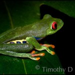 A simple shot of an Atlantic form of the red-eye tree frog, Agalychnis callidryas. No fancy stuff here.