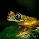The very slight Agalychnis lemur can change colors between light lime green to a splotchy red and brown pattern.