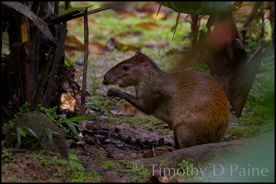 Strange rainforest mammals like this common agouti are sure excite the novice traveler.